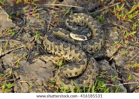 hungarian meadow adder basking in natural habitat ( Vipera ursinii rakosiensis ) - stock photo