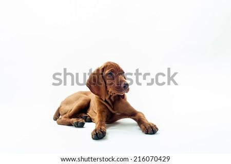 Hungarian or Magyar vizsla dog sitting,on white background.  - stock photo