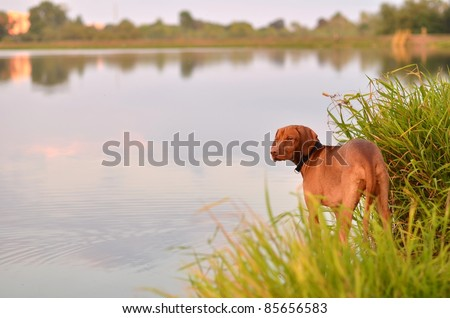 Hungarian Viszla pointer dog in pointing stance - stock photo