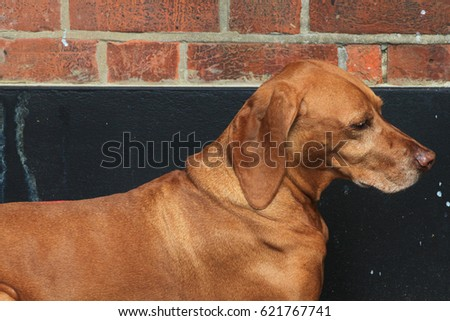 Hungarian Vizsla dog laying on brick background in England UK.