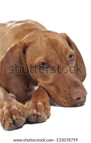 Hungarian Vizsla dog portrait. - stock photo