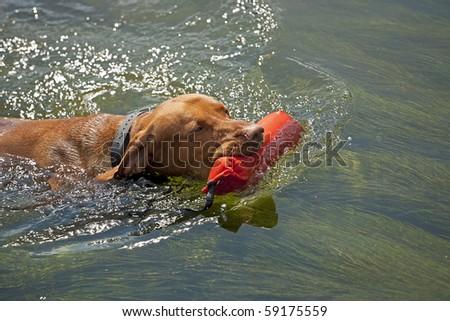 Hungarian vizsla hunting dog retrieving dummy from water - stock photo