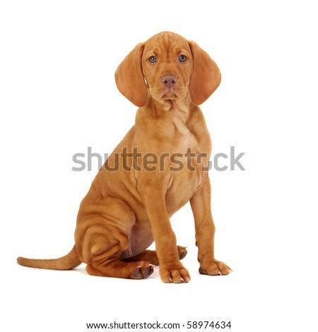 Hungarian Vizsla pointer puppy - stock photo