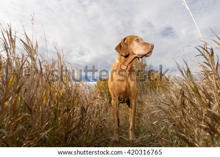 hungarian vizsla standing in the tall grass seen from below - stock photo