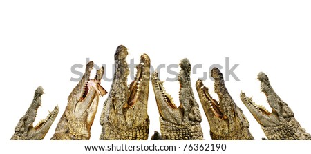 hungry alligators with their open mouths - stock photo