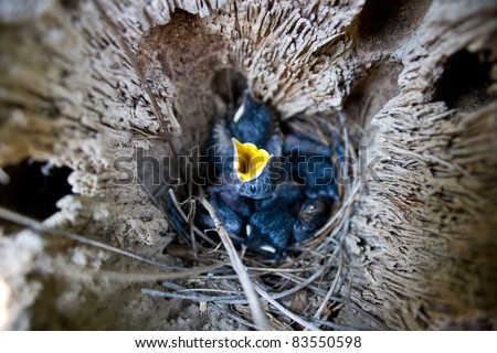 Hungry baby bird in the nest - stock photo