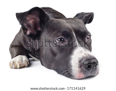 hungry black dog �¢??�¢??looking away isolated on white background - stock photo