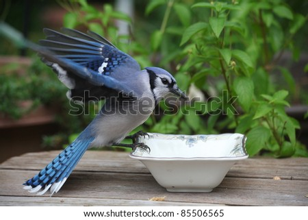 hungry blue jay looking for peanuts in a bowl