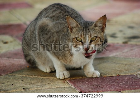 Hungry Cat looking at the camera with its tongue out - stock photo