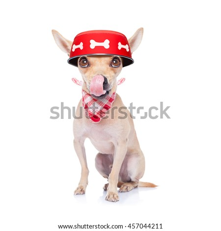 hungry  chihuahua dog holding food bowl and licking with tongue, isolated on white background