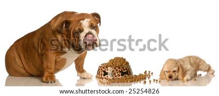 hungry cocker spaniel puppy and english bulldog sharing a bowl of dog food - stock photo