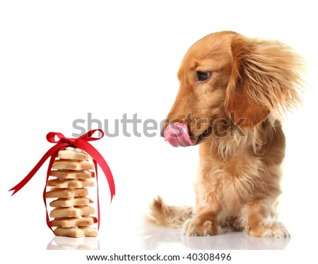 Hungry dachshund puppy staring at Christmas cookies. - stock photo