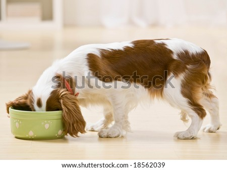 Hungry dog eating food from bowl - stock photo