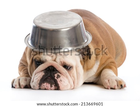 hungry dog - english bulldog laying down with dog bowl on head on white background - stock photo