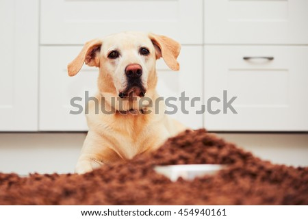Hungry dog. Labrador retriever is lying in front of heap of the granules.