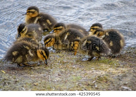 Hungry Ducklings