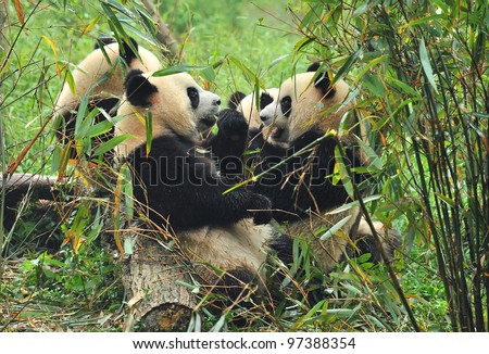 Hungry giant panda bear eating bamboo with other pandas on background