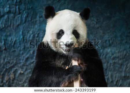 Hungry giant panda eating bamboo - stock photo