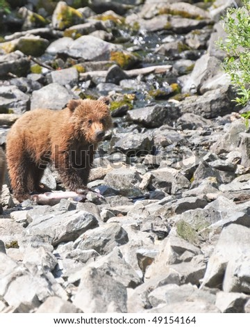 hungry grizzly cub stands on salmon - stock photo