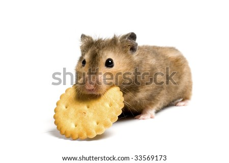 Hungry hamster eating cookie. On white background isolated.