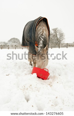 Hungry horse eating from a red bucket - stock photo