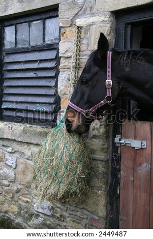 Hungry horse eats his hay from his haynet - stock photo