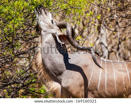 Hungry kudu antelope eating from tree - stock photo
