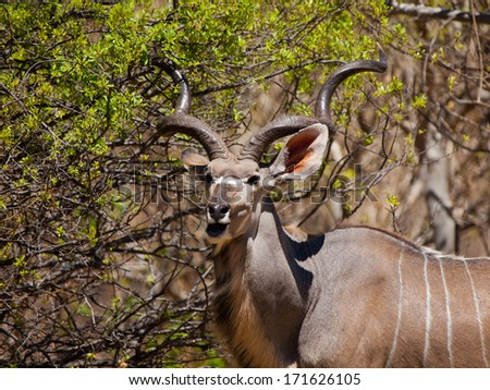 Hungry kudu antelope eating from tree