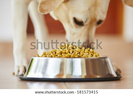 Hungry labrador retriever is feeding at home.  - stock photo
