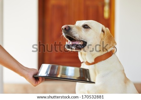 Hungry labrador with dog bowl is waiting for feeding.  - stock photo