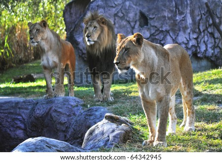 Hungry lion and lionesses in search of something to eat, at a park - stock photo