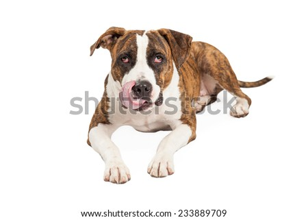 Hungry looking Staffordshire Bull Terrier Mix Breed Dog laying and facing the camera.  dog is licking its lips.  - stock photo