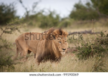 Hungry male lion in Kruger Park - stock photo