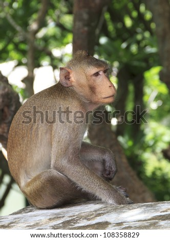 hungry monkey sit on a wall, waiting for food from tourist. - stock photo