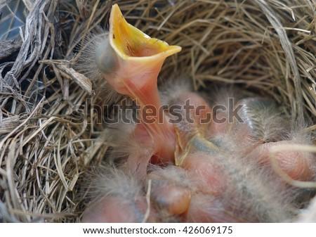 Hungry Newborn Baby Robin Bird In Nest - Robin nest with a hungry newborn baby bird with mouth open waiting for food. Hungry American robin bird wildlife photo. - stock photo