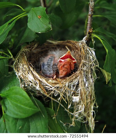 Hungry newborn finch in the nest - stock photo