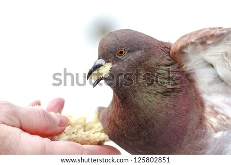 Hungry pigeon eating bread from women`s palm in winter