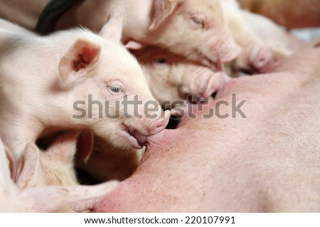 Hungry Piglet - stock photo