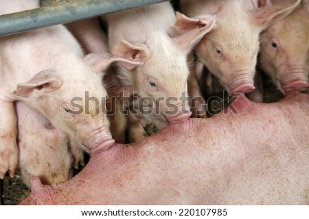 Hungry pigs - stock photo