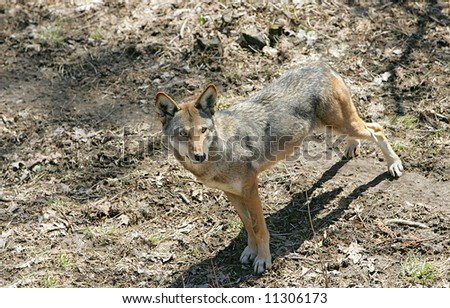 hungry predator red wolf stalking prey - stock photo