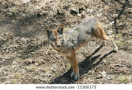 hungry predator red wolf stalking prey - stock photo