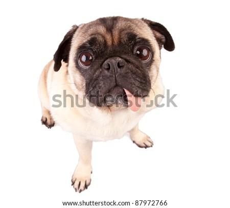 Hungry pug dog isolated on white background - stock photo