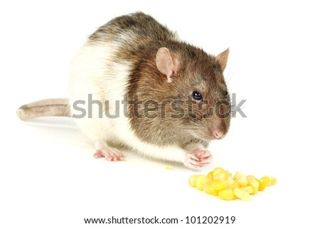 Hungry rat eating corn, on a white background - stock photo