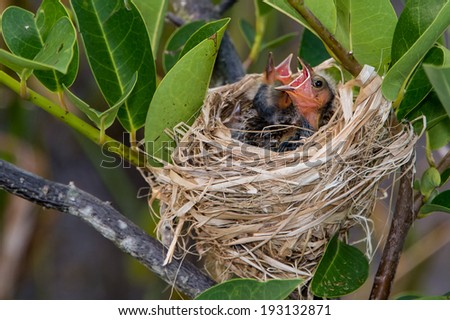 hungry red wing blackbird chicks in nest in florida wetland - stock photo