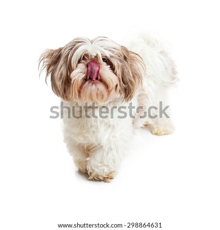 Hungry Shih Tzu breed dog standing and looking forward with tongue out licking lips - stock photo