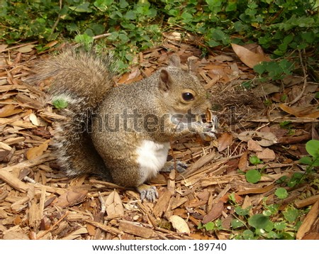 Hungry Squirrel - stock photo