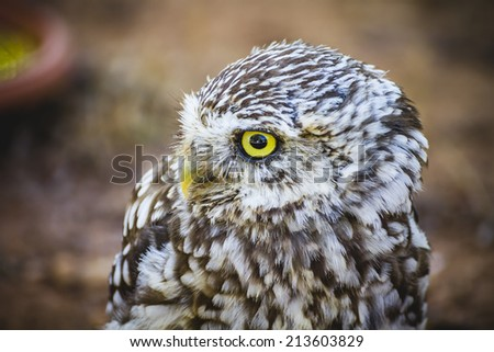 hunter, cute little owl, gray and yellow beak and white feathers - stock photo