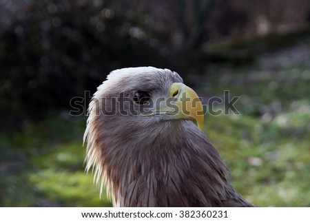 Hunter look of Eagle. - stock photo