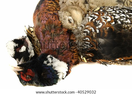 Hunter's pray - trophy of duck, 2 golden pheasant and partridge isolated on white - stock photo
