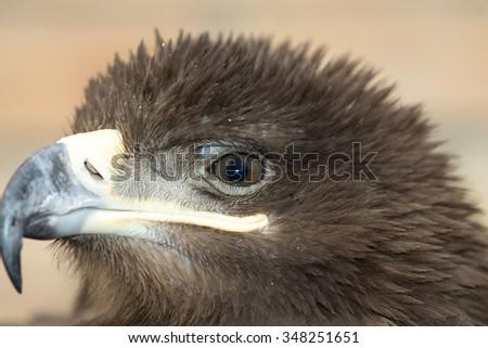 hunting bird eagle - stock photo